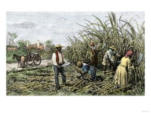 Slaves harvesting sugar